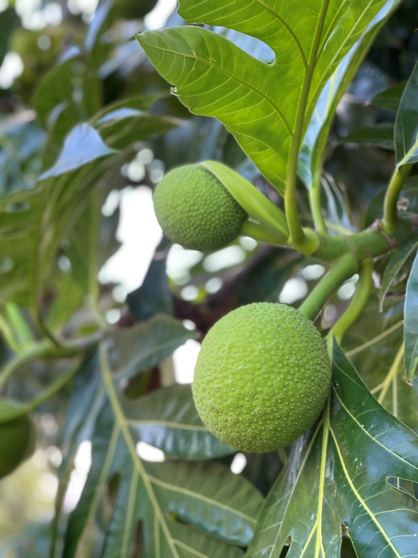 Breadfruit パンの実